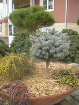 Pine wood mulch